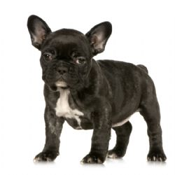 French Bulldog Breed Information Amp Pictures Frenchie